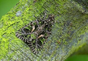 Orache moth (Trachea atriplicis) resting on tree trunk. Asturias, Spain. May.