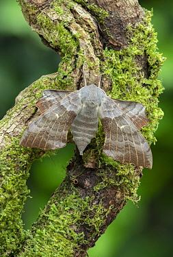 Poplar hawk-moth (Laothoe populi) on Moss covered branch. County Down, Northern Ireland, UK. July.