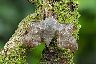 Poplar hawk-moth (Laothoe populi) on Moss covered branch.County Down, Northern Ireland, UK. July.