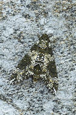 Rustic sphinx moth (Manduca rustica) resting on rock, Arizona, USA. May.