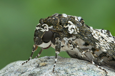 Rustic sphinx moth (Manduca rustica) resting, close up, Arizona, USA. May.