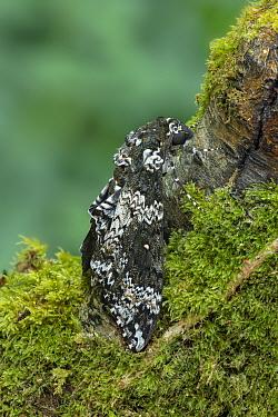 Rustic sphinx moth (Manduca rustica) resting on Moss covered tree trunk. Arizona, USA. May.