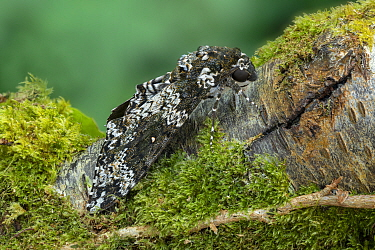 Rustic sphinx moth (Manduca rustica) resting on Moss covered tree trunk. Arizona, USA. May.