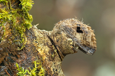 Lappet moth (Tolype nana) resting on tree trunk, Pasco, Peru.