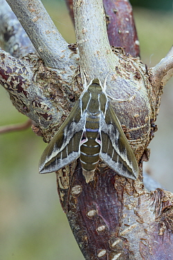 Barbary spurge hawk-moth (Hyles tithymali). Barranco de Nogales, La Palma, Canary Islands, Spain. June.