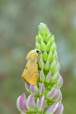 Buff ermine moth (Spilosoma lutea) resting on Lupin in garden, Banbridge, County Down, Northern Ireland, UK. June.
