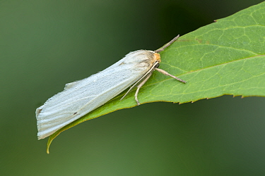 Erebid moth (Coscinia chrysocephala) resting on leaf, Souss-Massa, Morocco.