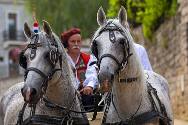 Horses pulling man in carriage during Alka procession. Held on the first Sunday in August since 1715 the Alka commemorates the victory of Christians over Ottoman Turks. Inscribed on UNESCO Intangible...