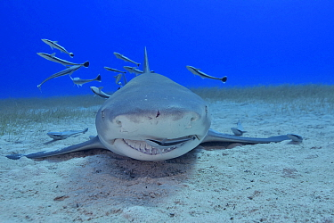 Lemon shark (Negaprion brevirostris) on sea floor, Whitefin sharksucker (Echeneis neucratoides) remora cleaning shark's mouth and teeth, group of remoras in background. Bahamas.