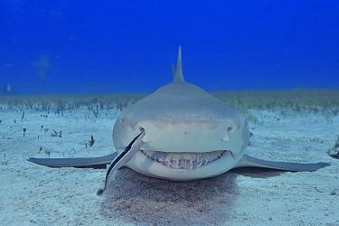 Lemon shark (Negaprion brevirostris) on sea floor, Whitefin sharksucker (Echeneis neucratoides) remora cleaning shark's nostril. Bahamas.