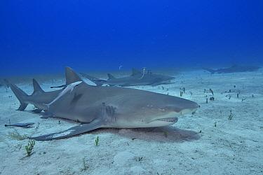 Lemon shark (Negaprion brevirostris) group on sea floor surrounded by Whitefin sharksucker (Echeneis neucratoides) remoras. Bahamas.