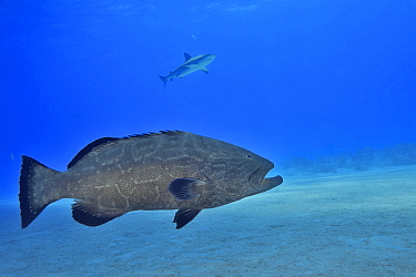 Black grouper (Mycteroperca bonaci) with Caribbean reef shark (Carcharhinus perezii) in background. Bahamas.