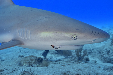 Caribbean reef shark (Carcharhinus perezii) with fishing hook in mouth, portrait. Bahamas. 2019.