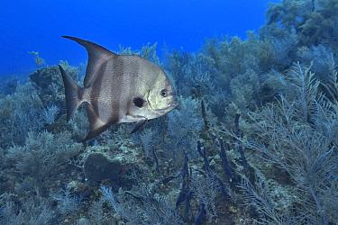 Atlantic spadefish (Chaetodipterus faber) swimming over reef. Bahamas.