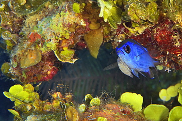 Blue chromis (Chromis cyanea) with attached parasitic Isopod (Anilocra sp) female feeding on blood, in reef. Bahamas.
