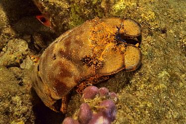 Spanish slipper lobster (Scyllarides aequinoctialis). Bahamas.