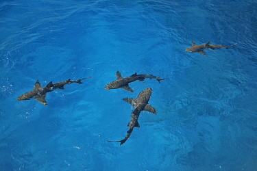 Lemon shark (Negaprion brevirostris) four at surface, attracted by fish used as bait by divemasters. Bahamas.