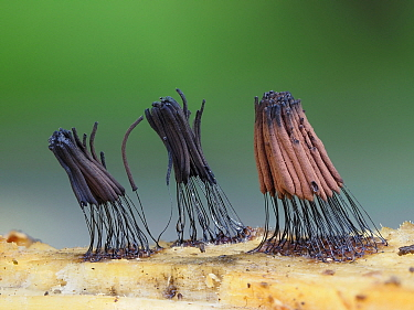 Slime mould ( Stemonitis splendens ) sporangia showing different stages of releasing spores, England, UK, July - Focus Stacked