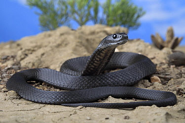 Kangaroo Island tiger snake (Notechis scutatus) melanistic, juvenile female, from mallee woodland habitat near American River settlement. The entire region was ravaged by the 2020 bushfires several we...