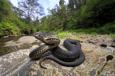 Highland Copperhead Snake (Austrelaps ramsayii) gravid female basking on a stream side rock beside the Buckland River near Bright in north-eastern Victoria, Australia. This region was devastated by th...