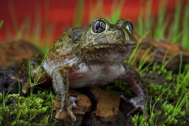 Sudell's burrowing frog ( Neobatrachus sudellae ) male, A locally rare species from the Merri Creek corridor in northern metropolitan Melbourne, Victoria, Australia. Controlled conditions.