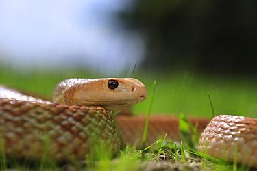 Coastal taipan snake (Oxyuranus scutellatus) snake, captive, parents from Cairns in far north Queensland, Australia.
