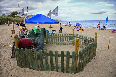 CRAM volunteers cover a loggerhead turtle (Caretta caretta) nest from the rain on the beach, protected and guarded to avoid disturbances, Barcelona, Catalonia, Spain, August. These are from the first...