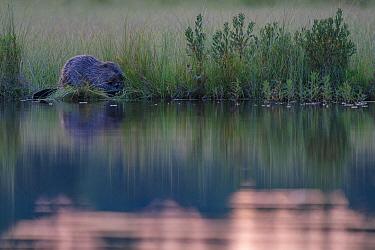 Beaver (Castor fiber)at edge of lake, Malingsbo-Kloten Nature Reserve, Vastmanland, Sweden.