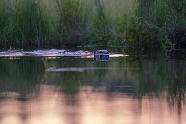 Beaver (Castor fiberswimming, Malingsbo-Kloten Nature Reserve, Vastmanland, Sweden