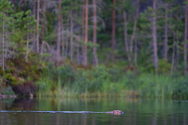 Beaver (Castor fiber) swimming , Malingsbo-Kloten Nature Reserve, Vastmanland, Sweden.
