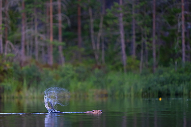 Beaver (Castor fiber) slapping its tail on water as an alarm to warn beavers, Malingsbo-Kloten Nature Reserve, Vastmanland, Sweden.