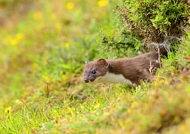 Stoat (Mustela erminea) poking its head out of its burrow in a grass bank. Suffolk, England, UK. June.