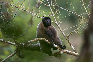 Grey woolly monkey (Lagothrix cana) sitting in the Peruvian cloud forest. Cusco, Peru. September.