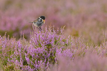 European stonechat (Saxicola rubicola) male perched on flowering heather. Suffolk, England, UK. August.