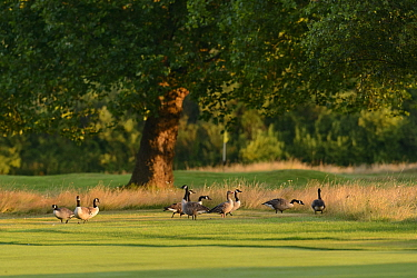 Canada geese (Branta canadensis) and greylag geese (Anser anser) feeding on the edge of a golf course fairway. London, England, UK. July.