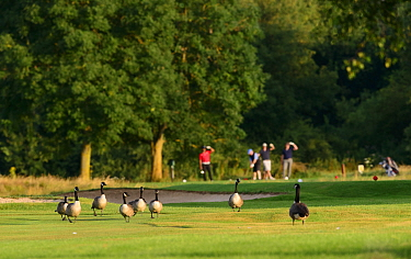 Canada geese (Branta canadensis) on a golf course fairway with golfers behind. London, England, UK. July