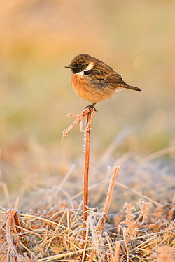 European stonechat (Saxicola rubicola) male perched on bracken stem in the frost. London, England, UK. December