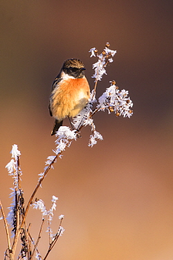 European stonechat (Saxicola rubicola) perched on frost-covered branch. London, England, UK. December.