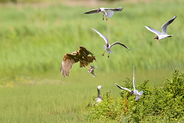 Western marsh harrier (Circus aeruginosus) being mobbed by black-headed gulls (Chroicocephalus ridibundus) as it takes off with chick. Suffolk, England, UK. June