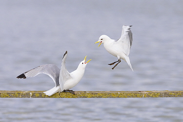 Black-legged kittiwakes (Rissa tridactyla) performing aggressive behaviour perched on wooden structure over the water. Suffolk, England, UK. June