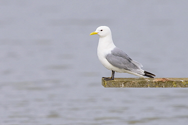 Black-legged kittiwake (Rissa tridactyla) perched on wooden structure over the water. Suffolk, England, UK. June