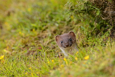 Stoat (Mustela erminea) poking its head out of its burrow in a grass bank. Suffolk, England, UK. June