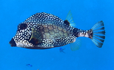 Smooth trunkfish (Lactophrys triqueter), Banco Chinchorro Biosphere Reserve, Caribbean region, Mexico.