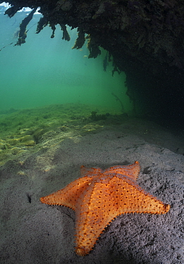 Cushion sea star (Oreaster reticulatus) under Red Mangrove (Rhizophora mangle), Banco Chinchorro Biosphere Reserve, Caribbean region, Mexico,.