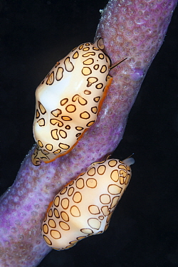 Flamingo tongue (Cyphoma gibbosum), Xkalac Reefs National Park, Caribbean region, Mexico.