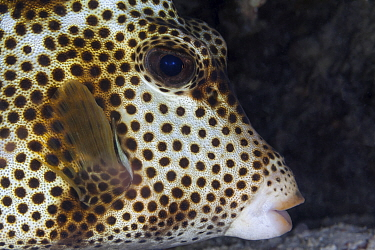 Spotted trunkfish (Lactophrys bicaudalis), Xkalac Reefs National Park, Caribbean region, Mexico, May