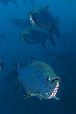 Tarpon (Megalops atlanticus), I La Poza, Xkalac Reefs National Park, Caribbean region, Mexico, Vulnerable species.