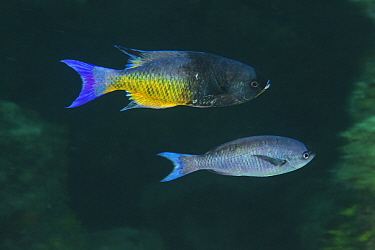 Creole Wrasse (Clepticus parrae) male and female, Xkalac Reefs National Park, Caribbean region, Mexico, May