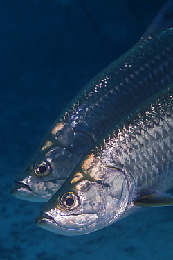 Tarpon (Megalops atlanticus), IUCN Redlist Vulnerable, La Poza, Xkalac Reefs National Park, Caribbean region, Mexico, May