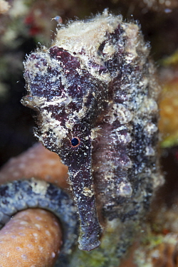 Lined Seahorse (Hippocampus erectus) Xkalac Reefs National Park, Caribbean region, Mexico, Vulnerable species.